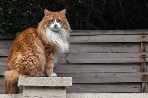 Картинки Кошки Доски Смотрят Сидит животное