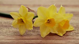 Картинки Крупным планом Нарциссы Желтых Цветы