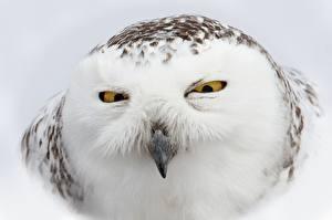 Фото Крупным планом Совы Глаза Клюв Взгляд Голова Snowy owl