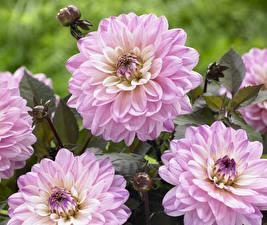 Фотографии Георгины Крупным планом Розовый Цветы