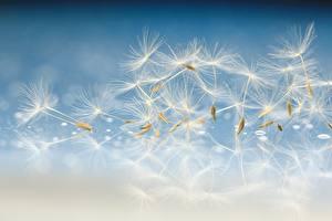 Фото Одуванчики Макросъёмка Вблизи Цветы