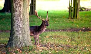 Обои Олени Ствол дерева Животные картинки