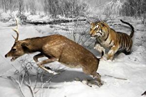 Картинки Олени Зимние Тигры Охота Снег Испуг Бег Животные