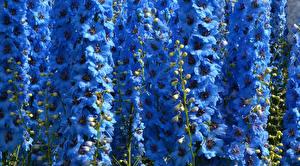 Обои Дельфиниум Вблизи Голубой Цветы