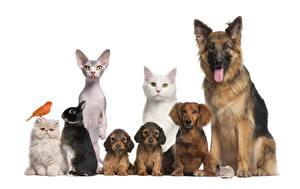Фотографии Собаки Коты Кролики Белый фон Овчарка Щенок Животные