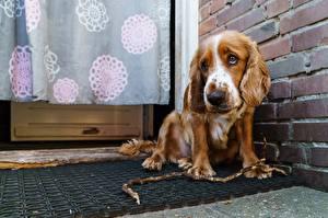 Фотографии Собаки Спаниель Грусть English Cocker Spaniel Животные