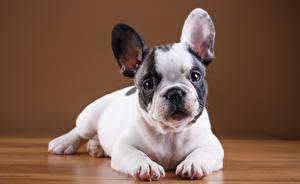 Фотографии Собаки Французский бульдог Щенок Белый Животные