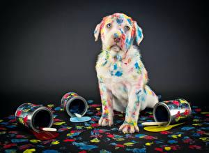 Фото Собаки Ретривер Серый фон Смотрит Смешной Лабрадор-ретривер Животные