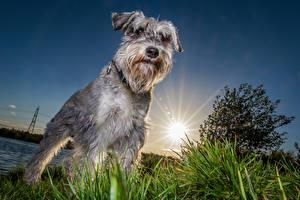 Обои Собаки Шнауцер Солнце Животные картинки
