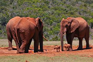 Фотография Слоны
