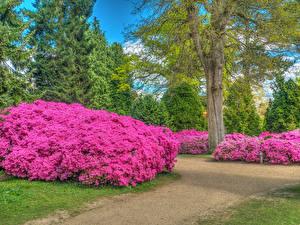 Фото Англия Парки Рододендрон Кусты Деревья Sheffield Park