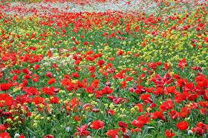 Обои Поля Маки Рапс Много цветок