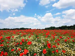 Картинки Поля Небо Ромашки Маки Цветы