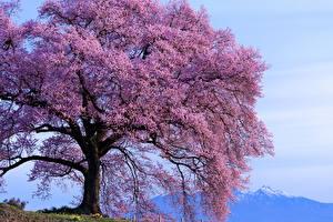 Фото Цветущие деревья Вблизи Фиолетовый Природа
