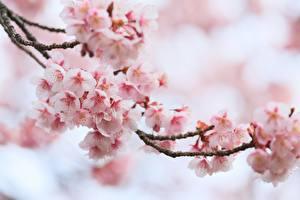 Фотографии Цветущие деревья Крупным планом Сакура Ветки Цветы