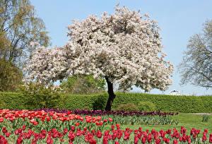 Картинки Германия Парки Весенние Цветущие деревья Тюльпаны Grugapark Essen Природа