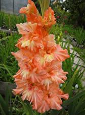 Фото Гладиолусы Крупным планом Оранжевый Цветы
