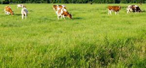 Обои Луга Корова Трава Животные картинки