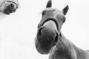 Фотография Лошади Вблизи Морда Нос Серый фон Животные