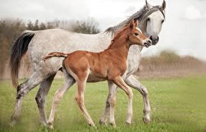 Картинки Лошадь Детеныши 2 Животные