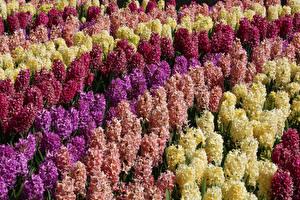 Фото Гиацинты Много Крупным планом Цветы