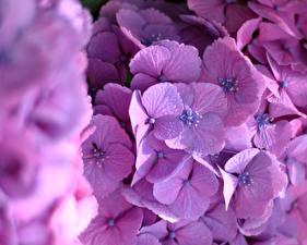 Картинки Гортензия Крупным планом Фиолетовый