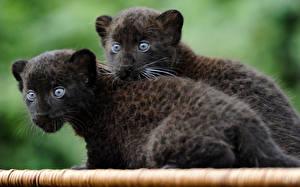 Фото Ягуары Детеныши Двое Черный Смотрит Животные