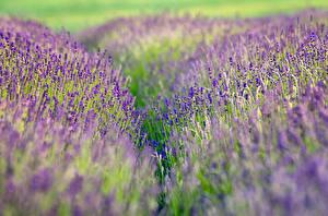 Фотография Лаванда Поля Вблизи Цветы