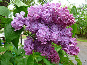 Фотографии Сирень Вблизи Ветвь Цветы