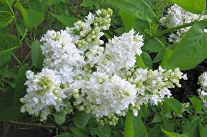 Обои Сирень Белый Цветы