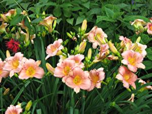 Картинка Лилии Розовый Бутон Цветы