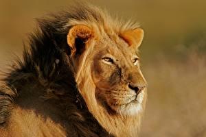 Обои Львы Взгляд Морда Животные картинки