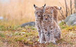 Обои Рыси Детеныши 2 Красивые Животные