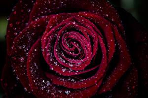 Фотографии Макросъёмка Вблизи Красный Бордовый Капли