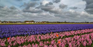 Фотографии Нидерланды Поля Гиацинты Много Небо Облака Природа