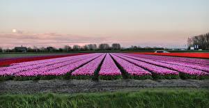 Картинка Нидерланды Поля Тюльпаны Вечер Природа