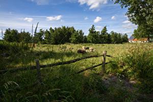 Фотография Нидерланды Луга Овцы Ограда Трава De Haeck