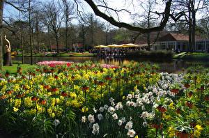 Картинки Нидерланды Парки Нарциссы Рябчик Пруд Keukenhof Природа Цветы