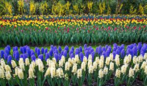 Фото Нидерланды Парки Гиацинты Тюльпаны Много Keukenhof