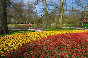 Фотографии Нидерланды Парки Пруд Тюльпаны Деревья Keukenhof Природа