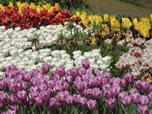 Фотография Нидерланды Парки Тюльпаны Крупным планом Keukenhof