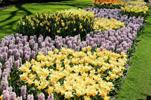 Фото Нидерланды Парки Тюльпаны Гиацинты Нарциссы Keukenhof