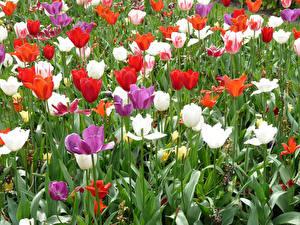 Обои Нидерланды Парки Тюльпаны Keukenhof Цветы картинки