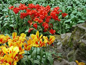 Обои Нидерланды Парки Тюльпаны Keukenhof
