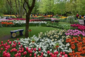 Фото Нидерланды Парки Тюльпаны Скамейка Keukenhof Природа