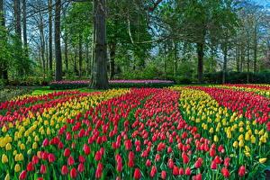 Обои Нидерланды Парки Тюльпаны Много Деревья Keukenhof Природа Цветы