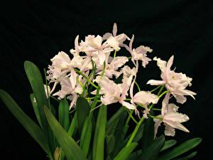 Картинки Орхидеи Черный фон Цветы