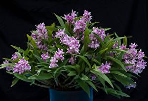Фотографии Орхидеи Черный фон Цветы