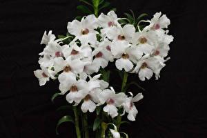 Фотографии Орхидея На черном фоне Белых цветок