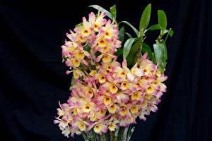 Картинка Орхидеи Крупным планом Черный фон
